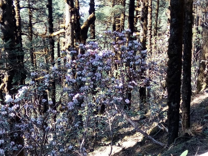Rhododendron and Pine Forest in Gosainkunda